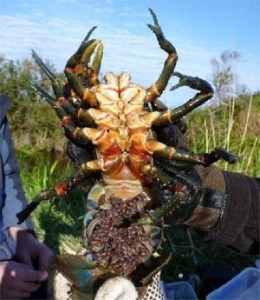 Female Glenelg Spiny Crayfish with eggs (in berry)