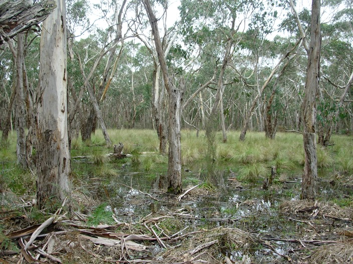 Translocation site in Swamp Gum grassy Woodland at Honan NFR