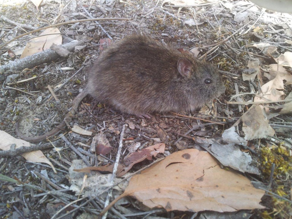 The nationally vulnerable Heath Mouse, one of the most restricted mammals in the South East.