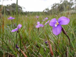 Long Purple-flag (Patersonia occidentalis)