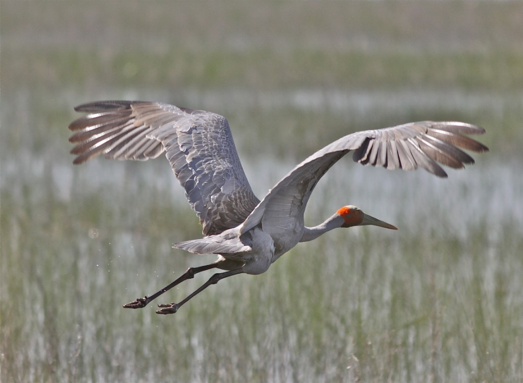 The iconic Brolga