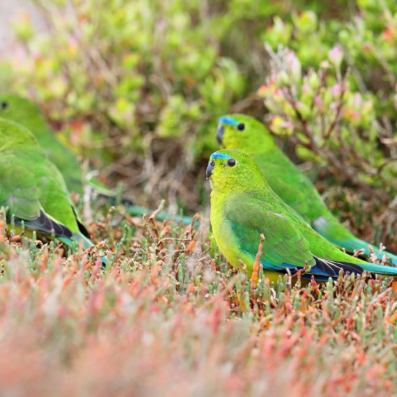 Flock of Orange-bellied Parrots. Photo by Chris Tzaros