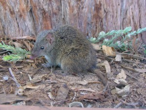 Swamp Antechinus live in tea-tree scrub (M. Bachmann)