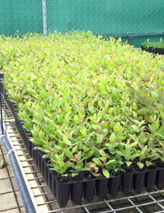 Strongybark seedlings ready to go!