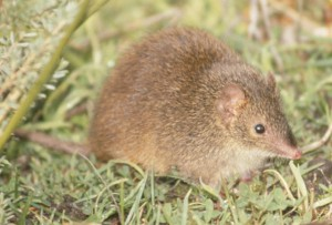 The Swamp Antechinus - photograph by Jason van Weenen