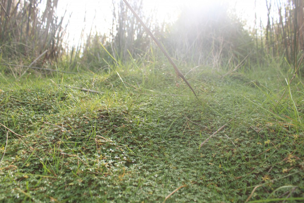 A carpet of Hydrocotyle