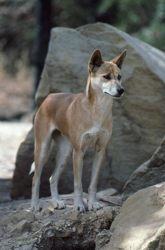 A Dingo stands on a rocky surface, appearing alert and concerned as it looks into the distance. Its ears are pricked upwards and its brow furrowed. It's fur is a reddish-brown, with white fur on the undersides and facial area. *** Local Caption *** Order: Carnivora Family: Canidae Genus: Canis Species: lupus Common name: Dingo