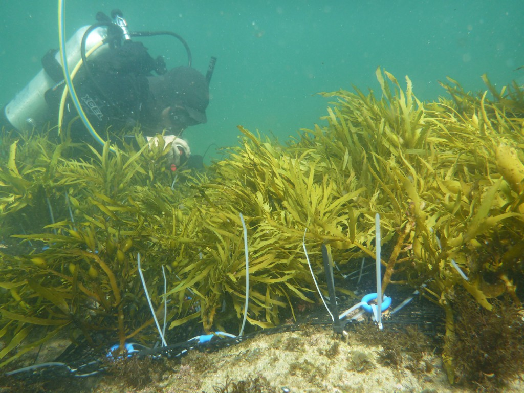 Crayweed underwater forest restoration off the NSW coast - an inspiring story of marine revegetation triggering a self-sustaining process of natural regeneration and recolonisation