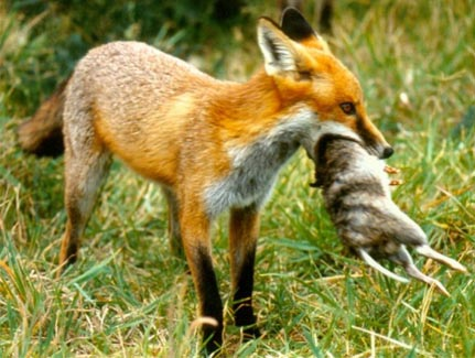 The European Red Fox