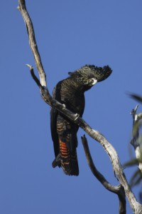The SE Red-tailed Black-cockatoo