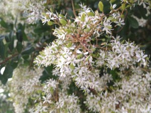 Sweet Bursaria/Christmas Bush (Bursaria spinosa) provides great protection for birds and nectar for butterflies