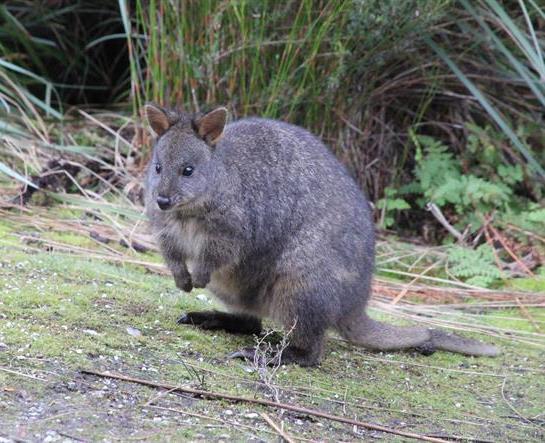 "The ""not so"" Tasmanian Pademelon"