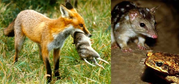 Shaping ecosystems from the top down (fox), or the bottom up (cane toad) - but the end result has been similar.