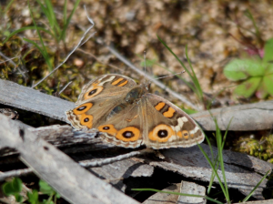 Meadow Argus (Junonia villida) butterfly common in Blue Gum woodlands