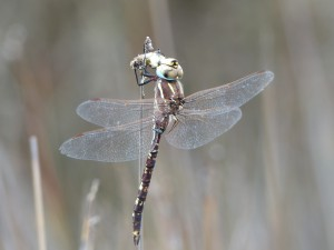 Blue-spotted Hawker (Adversaeschna brevistyla)