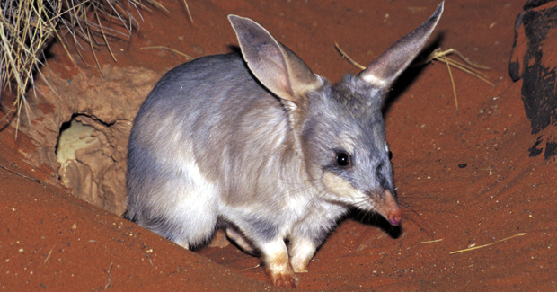 Now associated by most people with the desert, the Greater Bilby (Macrotis lagotis) once occurred in temperate areas, like Mount Compass and Adelaide.