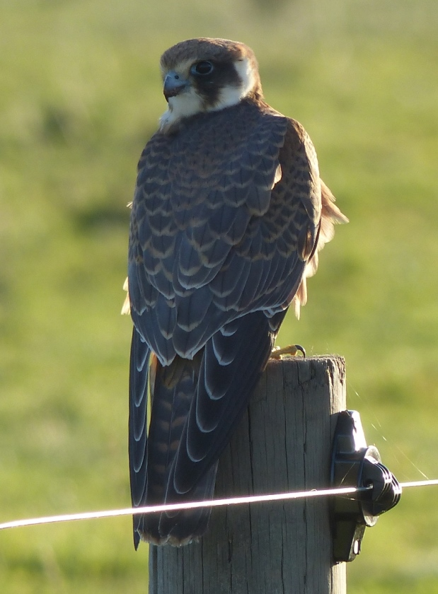 An Australian Hobby on the new fence at Mt Burr Swamp - 7th of April 2017 Photo by Bryan Haywood