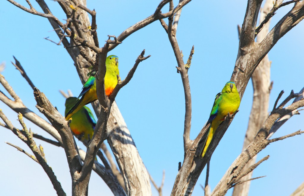 Orange-bellied Parrot captured by Chris Tzaros