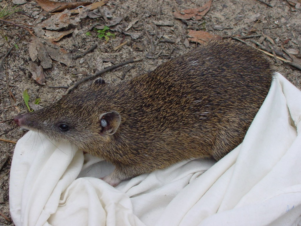 Southern Brown Bandicoot. Photo: Mark Bachmann