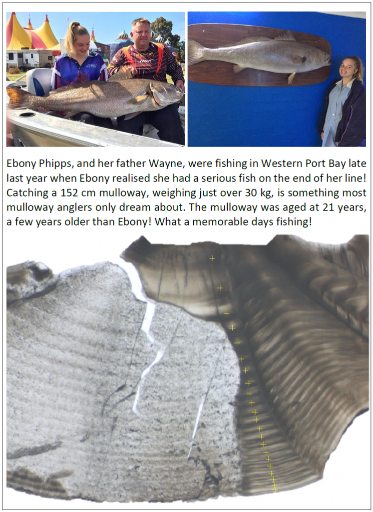 Ebony Phipps with her 152 cm mulloway caught from Western Port Bay. Ear bones (or otoliths) were donated to the research program for age and growth studies. The picture shows an image of the otolith sections used to age Ebonys fish.