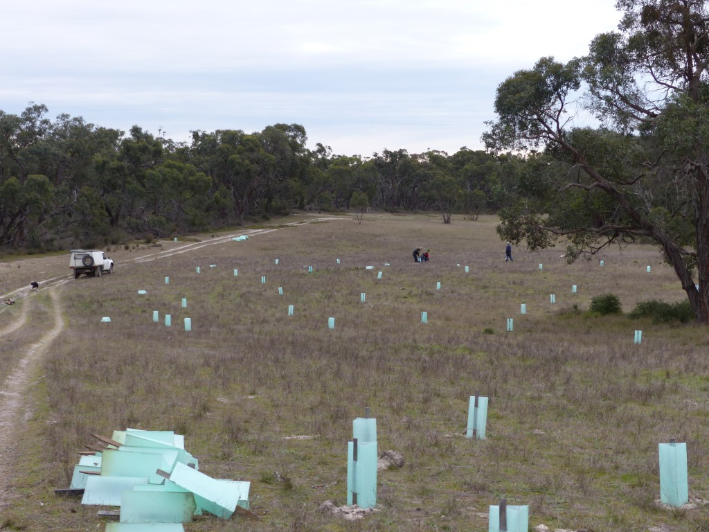 Open areas planted with Stringybarks and understorey