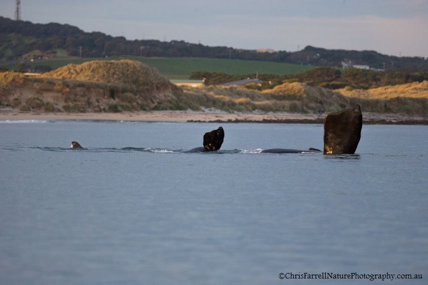 Southern right whale in South West Victoria (Photo: C.Farrell)
