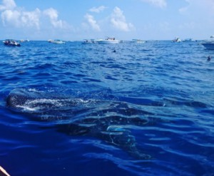 Whale Shark near Isla Mujeres, Mexico (Rose Thompson)