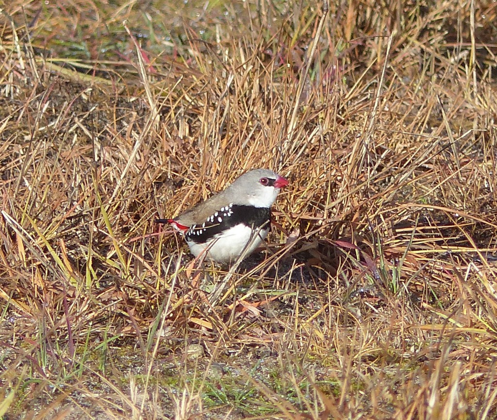 Diamond Firetail feeding in burnt grass area