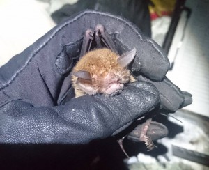 Common moustache bat