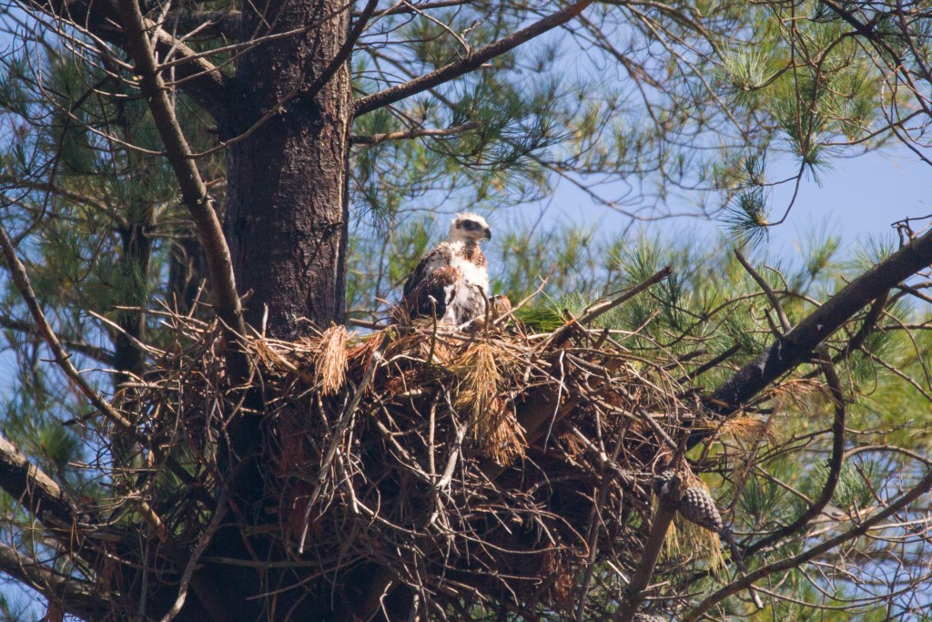 A Wedge-tailed eagle chick in one of the Nests amongst the OneFortyOne plantations. Photo taken by C.Farrell
