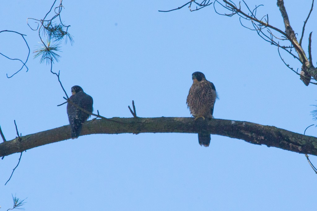 A juvenile Peregrine falcon (on the right) having a rest near the nest. Photo taken by C.Farrell