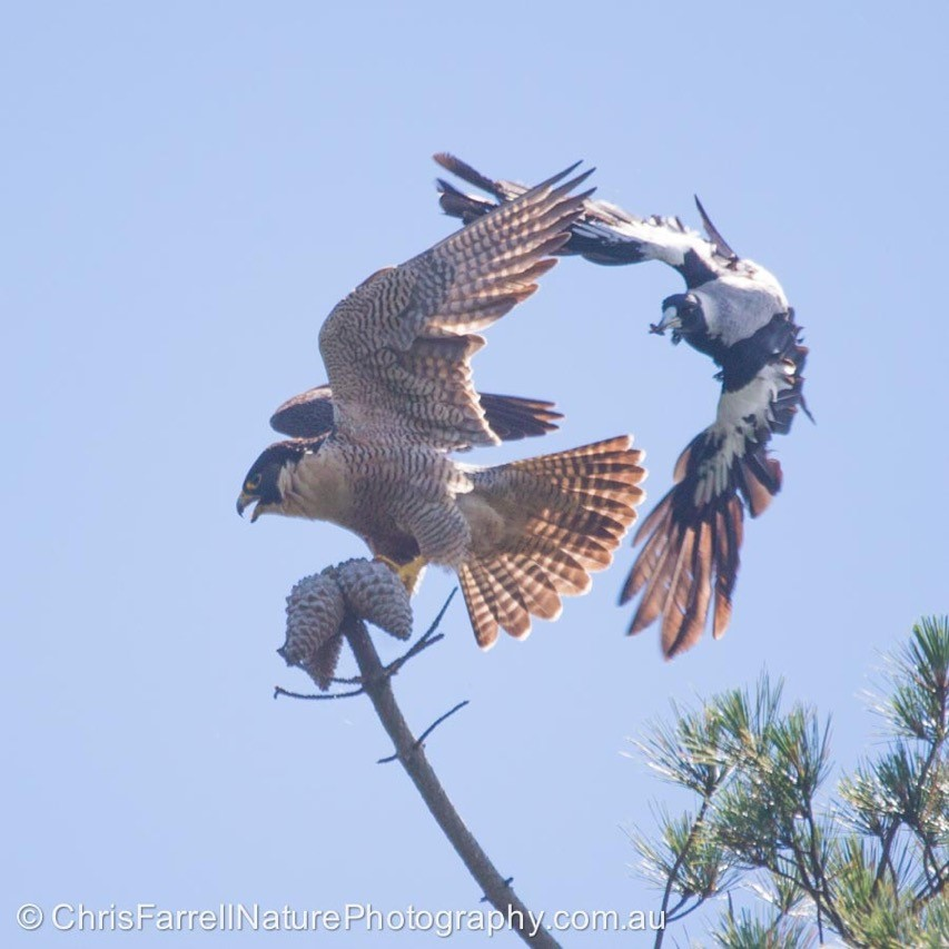 One of the adult Peregrine falcons is being attacked near the nest