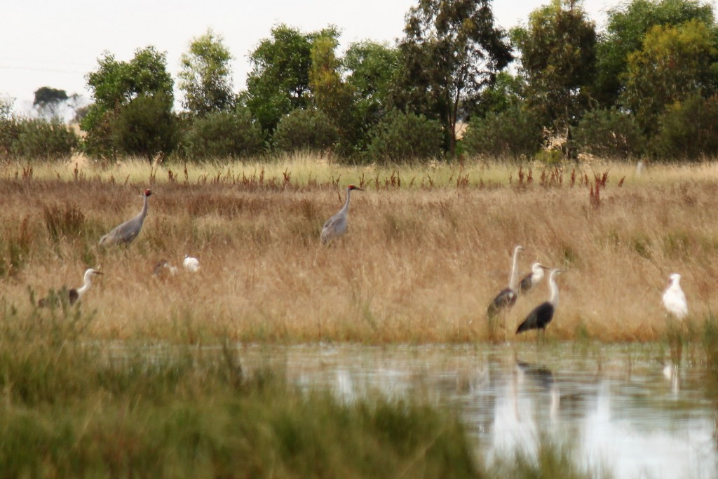 A new record for brolga at Scale Swamp