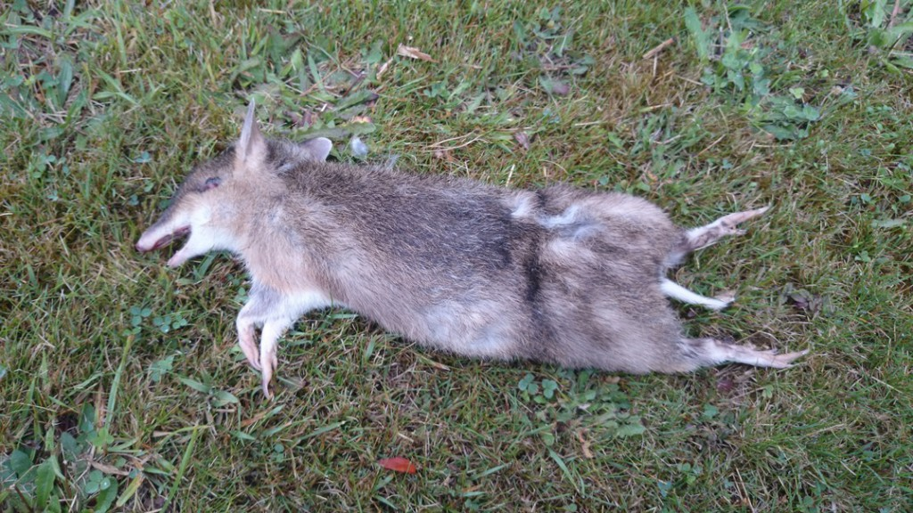 Roadkill Eastern Barred Bandicoot in Tasmania, just out of Hobart in farmland in 2014