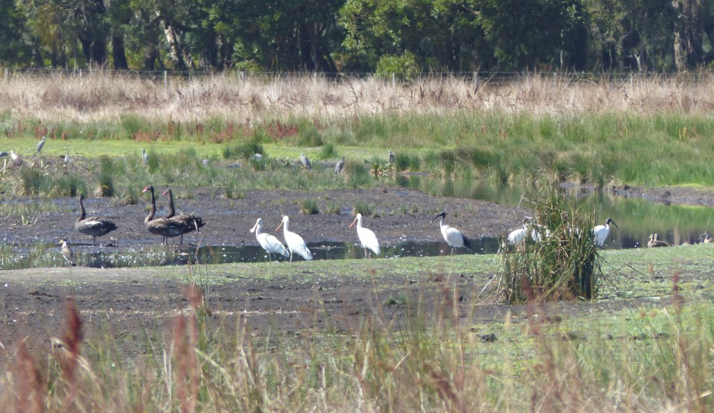 Waterbirds on drying wetland edge