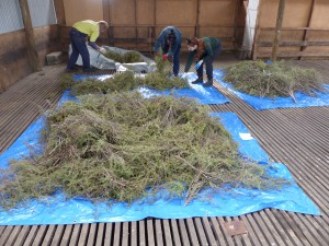 Tarps full of drying seed pods to capture large quantities of seed