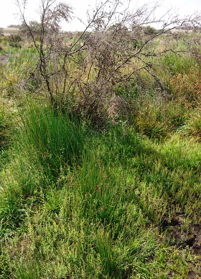 Wetland vegetation bouncing back next to the former 1.5m deep drain through the peat at Glenshera Swamp.
