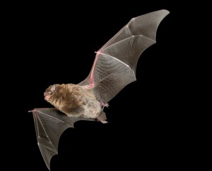 Southern Bent-winged Bat Photo: Steve Bourne and Terry Reardon