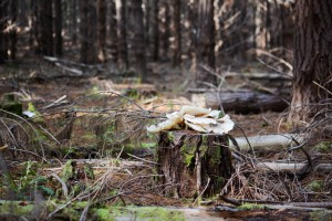 Ghost mushrooms feed on dead wood - an abundant resource in plantation (Photo: ForestrySA)