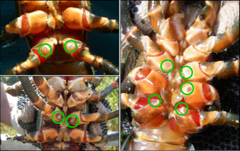 Healthy male (top left, gonopores on fifth set of legs) and female (bottom left, gonopores on third set of legs) and aberrant individual (right).