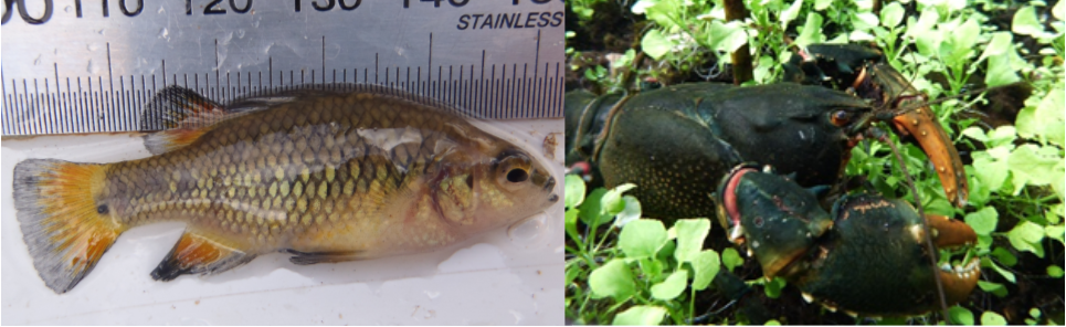 The nationally vulnerable Variegated Pygmy Perch (left) and the nationally endangered Glenelg Spiny Freshwater Crayfish (right).