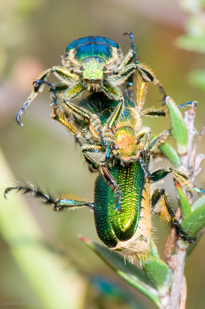 Christmas Beetle.Nature Glenelg Trust Photo Of The Week A Christmas