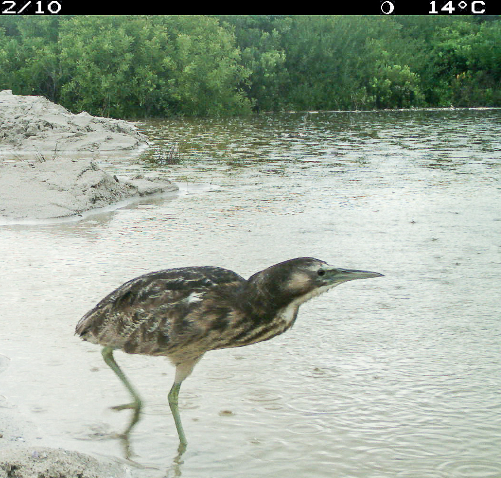 Australasian bittern near Nobles Rocks