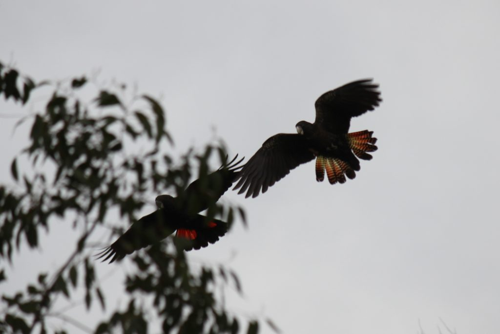 Red tail cockatoos at Mill Swamp